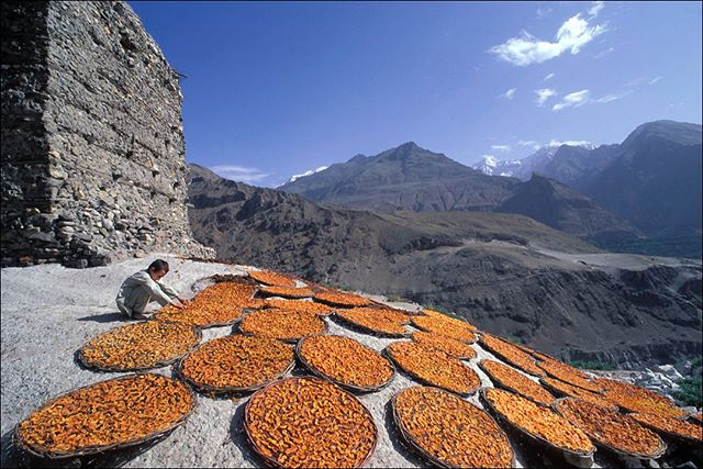 Apricots laid out to dry in flat baskets at Altit Fort in the Hunza Valley, Northern Pakistan. Hunza was once speculated to be the location of Shangri-La, a fictional place described in the 1933 novel Lost Horizon by British author James Hilton. Hilton describes Shangri-La as a mystical, harmonious valley, gently guided from a lamasery, enclosed in the western end of the Kunlun Mountains. Shangri-La has become synonymous with any earthly paradise, particularly a mythical Himalayan utopia – a permanently happy land, isolated from the world.  Hilton visited the Hunza Valley in northern Pakistan, close to the Chinese border, a few years before Lost Horizon was published; hence it is a popularly believed inspiration for Hilton's physical description of Shangri-La. Being an isolated green valley surrounded by mountains, enclosed on the western end of the Himalayas, it closely matches the description in the novel; also, in an ironic reversal on the story, due to increased exposure to ultraviolet radiation, inhabitants of the high-altitude parts of the valley appear to age quickly. However, because the Hunza Valley does not have Tibetan culture and lacks Buddhist religion, it could not have been the inspiration for the cultural context for Hilton's story.  @tribaleye #pakistan #HunzaValley #AltitFort #Karimabad #shangri-la #documentaryphotography #reportage #himalayas #southasia #asia #photooftheday #natgeo100contest #karakoramhighway #karakoram