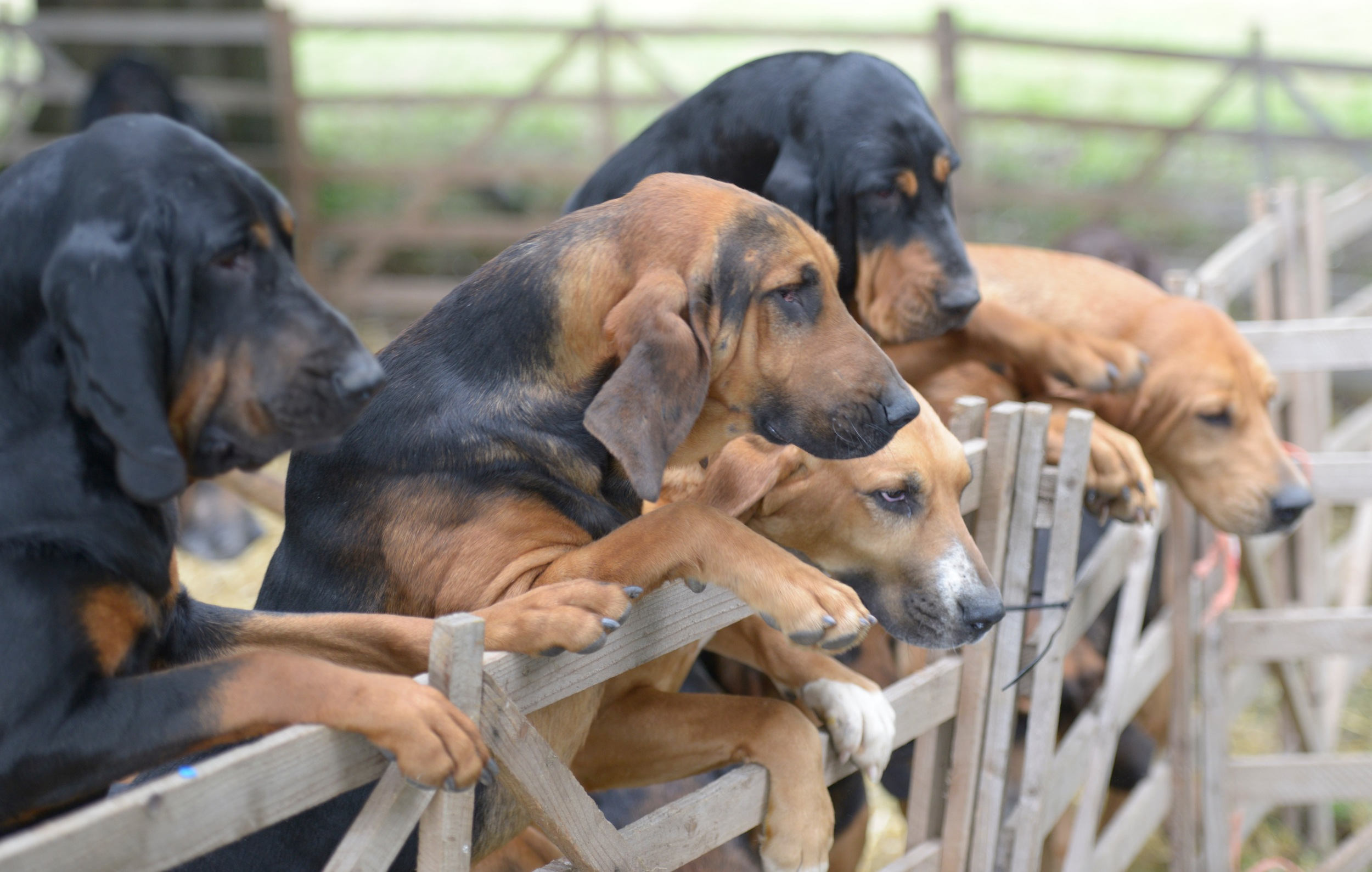 Scrambling for attention.   heavenly expressions - and those paws are just amazing.....   Can't wait to draw them.  South downs Bloodhounds