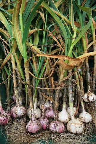 freshly picked garlic