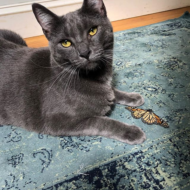 I have a gift for you Mama 🦋 😜 🐈 😮 😞. Oh oh, Momo is showing her love by bringing me more and gifts... this time a beautiful little butterfly 🦋. #littlehunter. . . . . #loveyoumama #petlover #catlo er #russianblue #catlove #butterfly #greycat #hyperallergic #bestcatclub #catsofinstagram #instacat #amling #amlingjewelry #choosegoodvibes #hunter