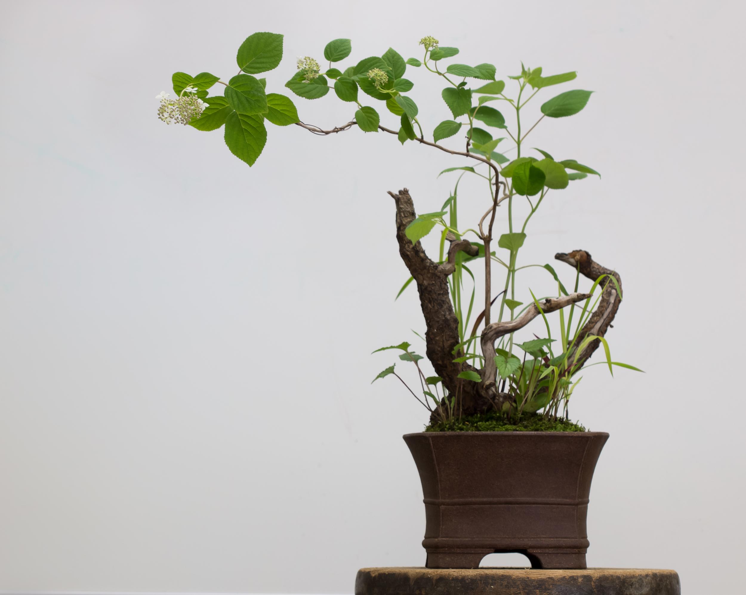 Potter: Michael Hagedorn (Oregon), 1st Prize Winner 2001-Traditional Category                                                                Hydrangea arborescens   ,  Imperata cylindrica ,  Penstemon smallii , and  Campanula  sp