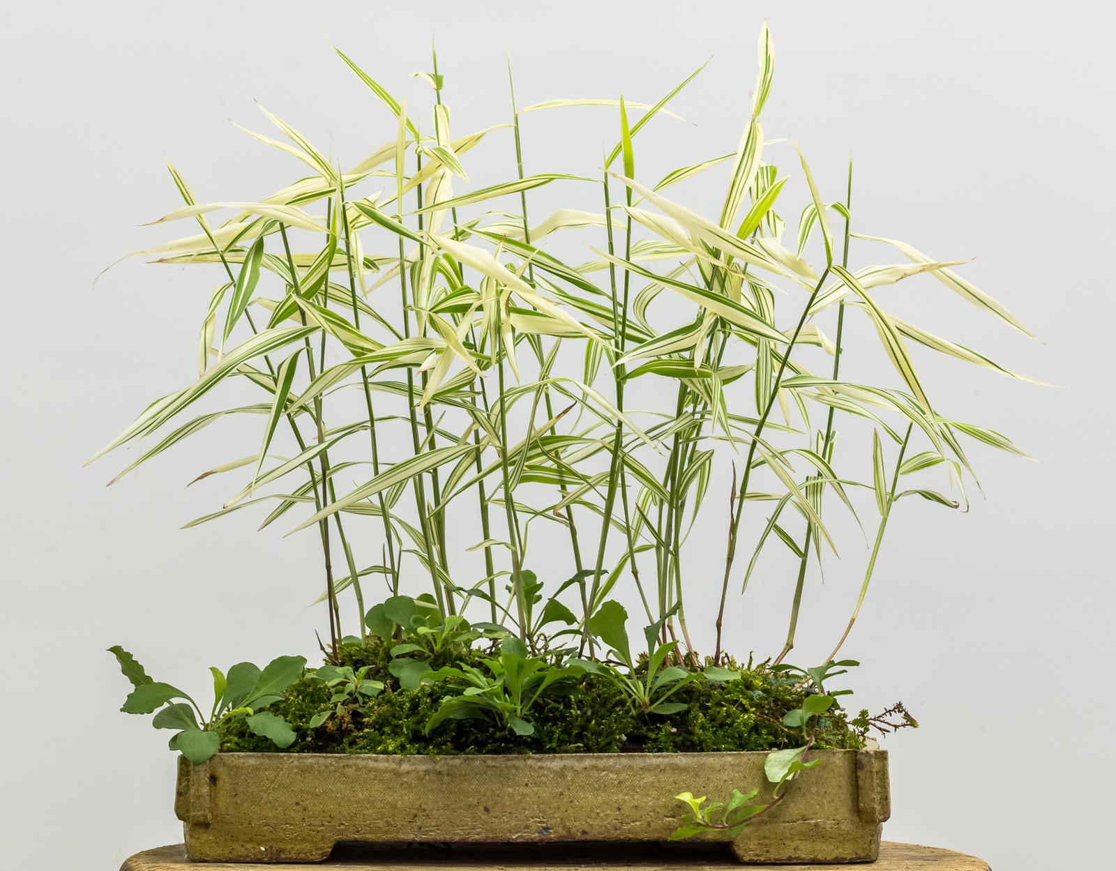 Potter: Sharon Edwards-Russell (Pennsylvania)                                                                                         Chasmanthium latifolium    'River Mist',  Phlox stolonifera ,   and  Selaginella  sp.