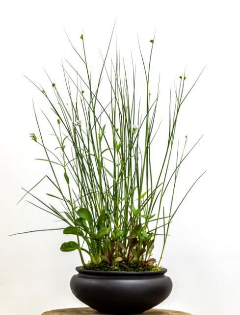 Potter: Jamie Kirkpatrick (Colorado)      Juncus torreyi   ,  Sagittaria latifolia ,  Lobelia  'Vulcan Red',  Alisma plantago-aquatica , and  Justicia americana
