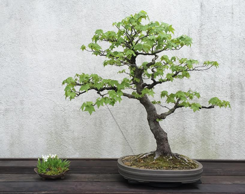 Displayed with a bonsai at the National Arboretum