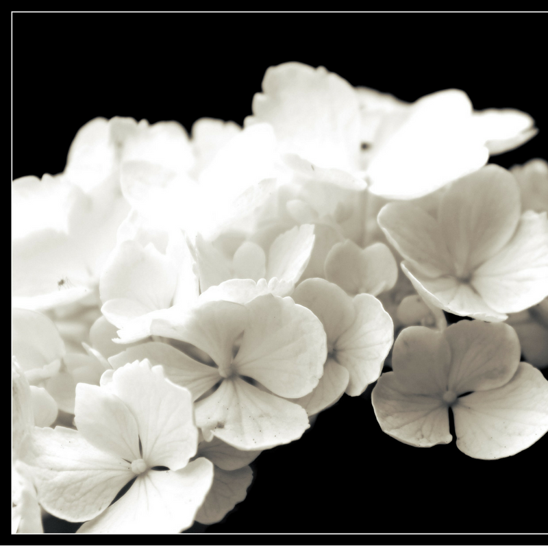 Dis-passion - See why hydrangeas might spook a lover?