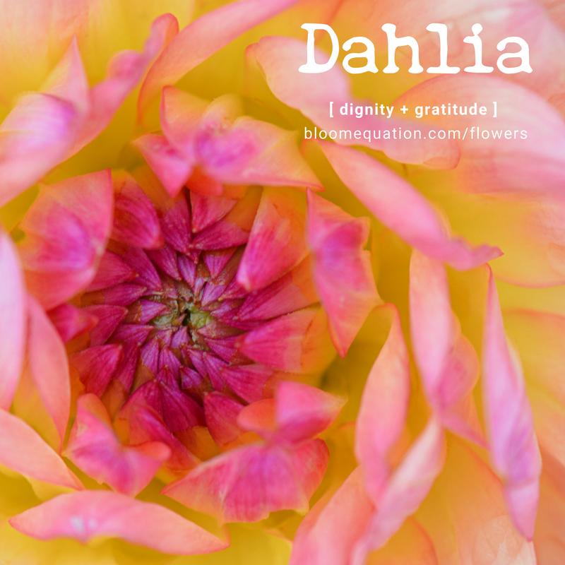 Dahlia- dignity and gratitude