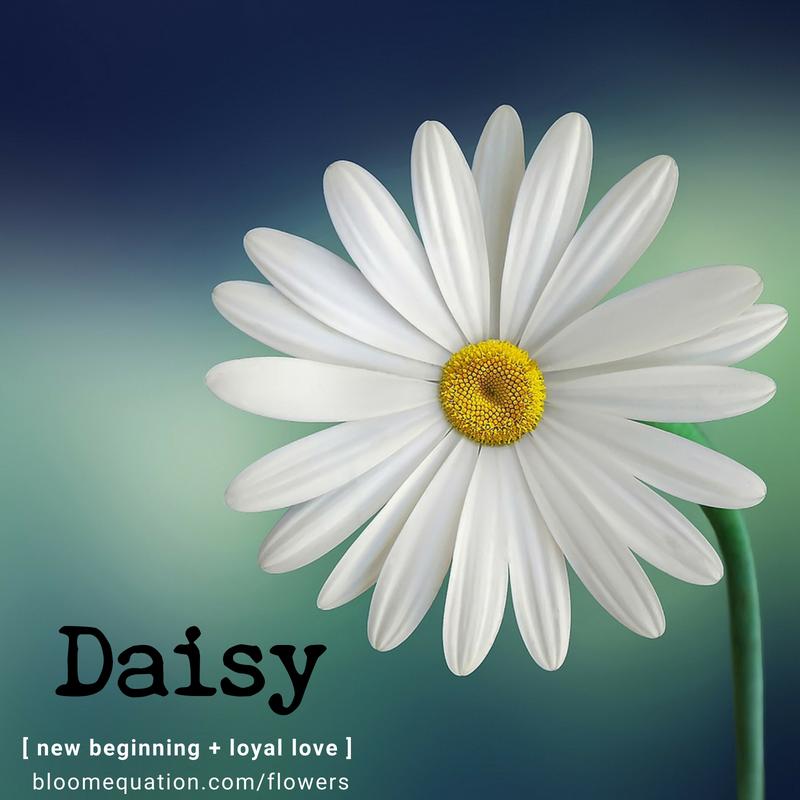 Daisy- new beginning and loyal love
