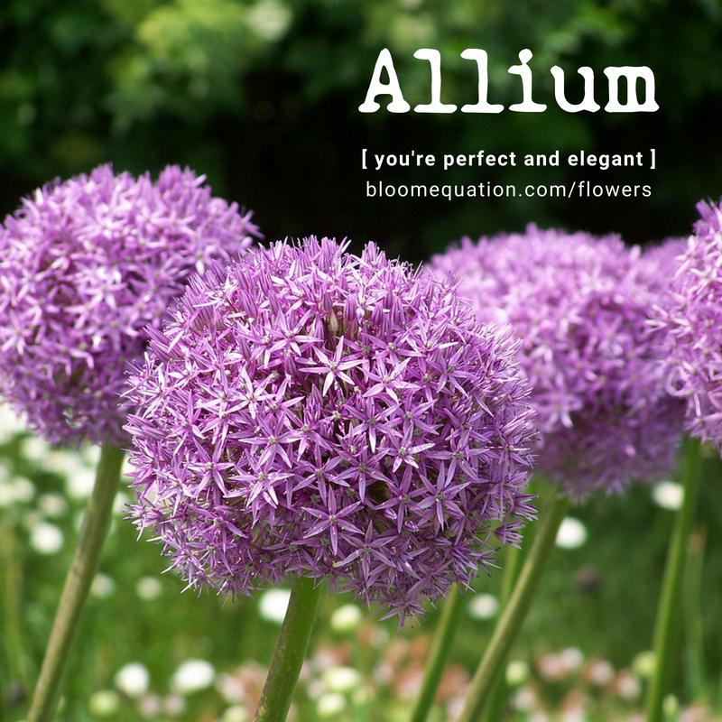 Allium- you're perfect and elegant