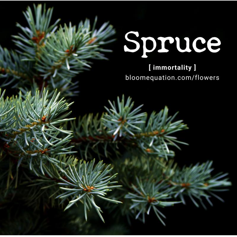 Spruce- immortality