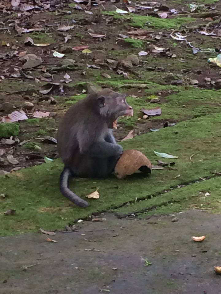 That monkey was trying to bite me, it was awful. I felt scared. There were lots of monkeys. I was kicking a coconut and it must have been his coconut as he got very angry at me!