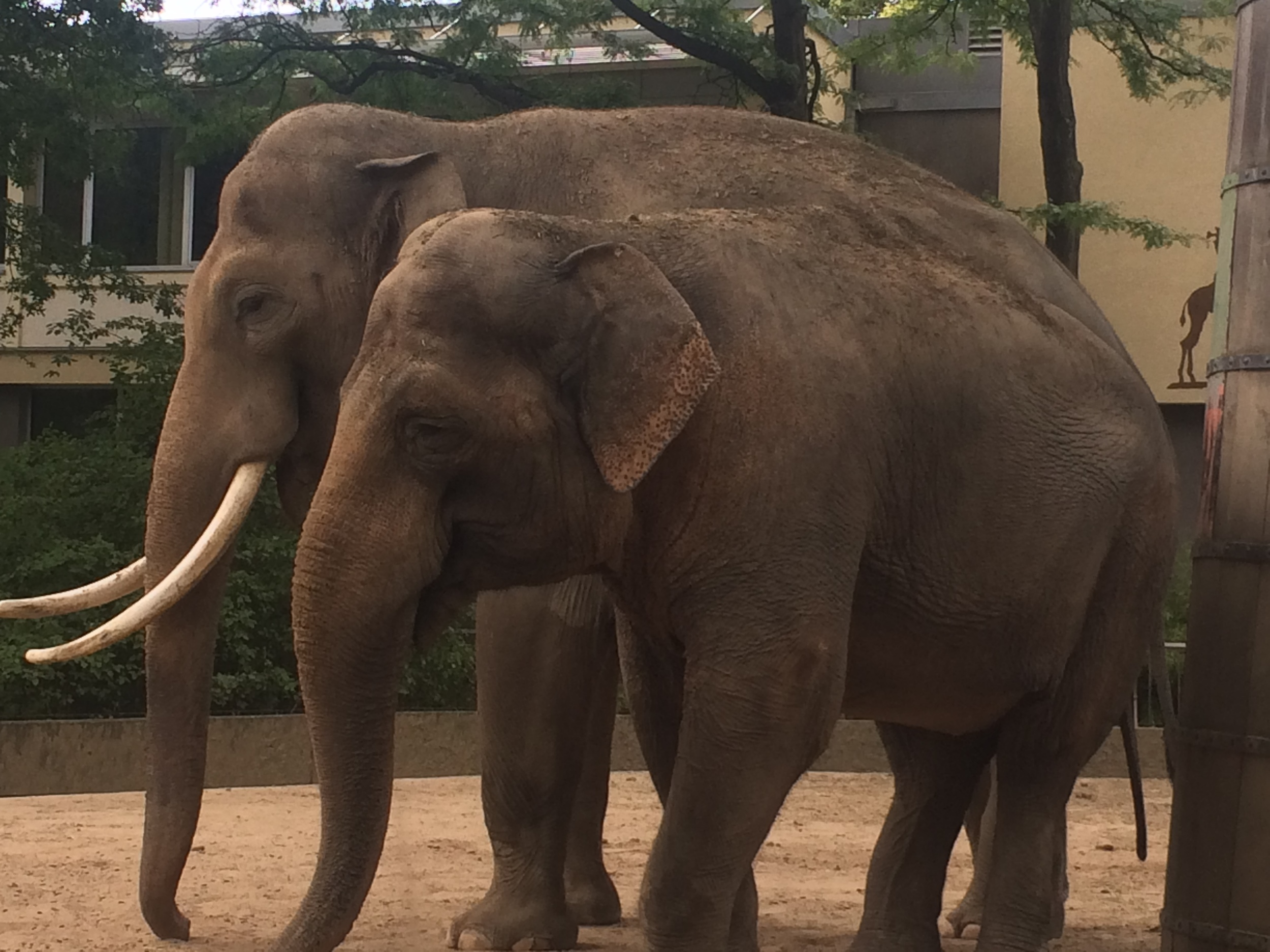 I went to the zoo. these are asian elephant i know the elephants names. the baby is called Pablo and the dad is called Victor.