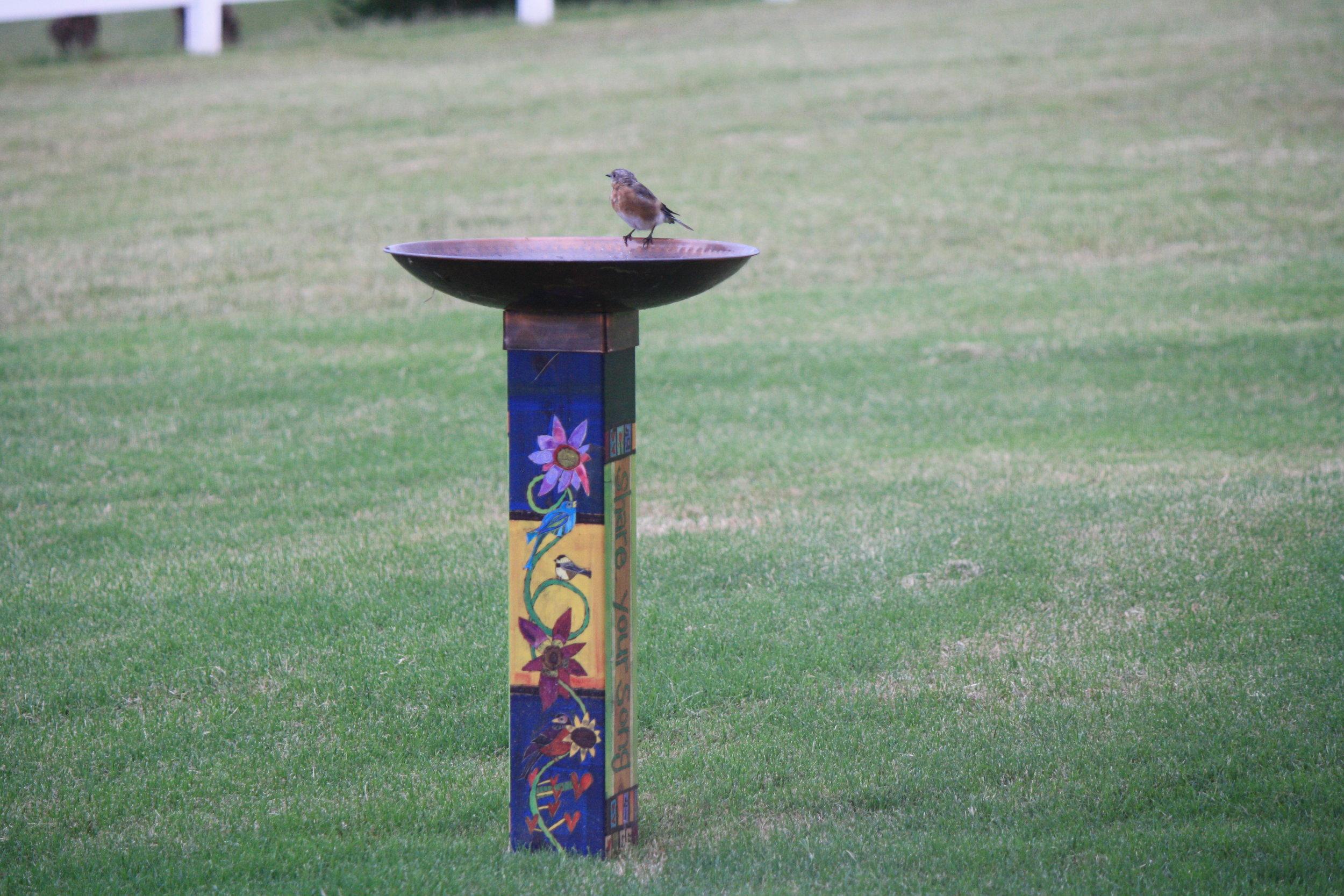 American Female Robin getting a drink from the birdbath