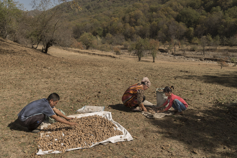 walnuts-picking-kyrgyzstan-child-arslanbob-soviet-union-russia-family-drying-walnuts.jpg