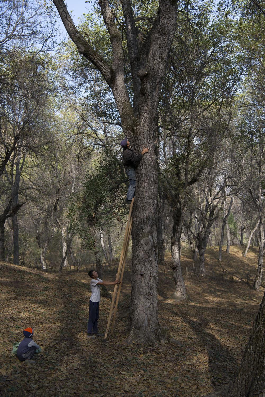 walnuts-picking-kyrgyzstan-child-arslanbob-soviet-union-russia-picnic-camping-family-picking-climbing-walnut-tree.jpg