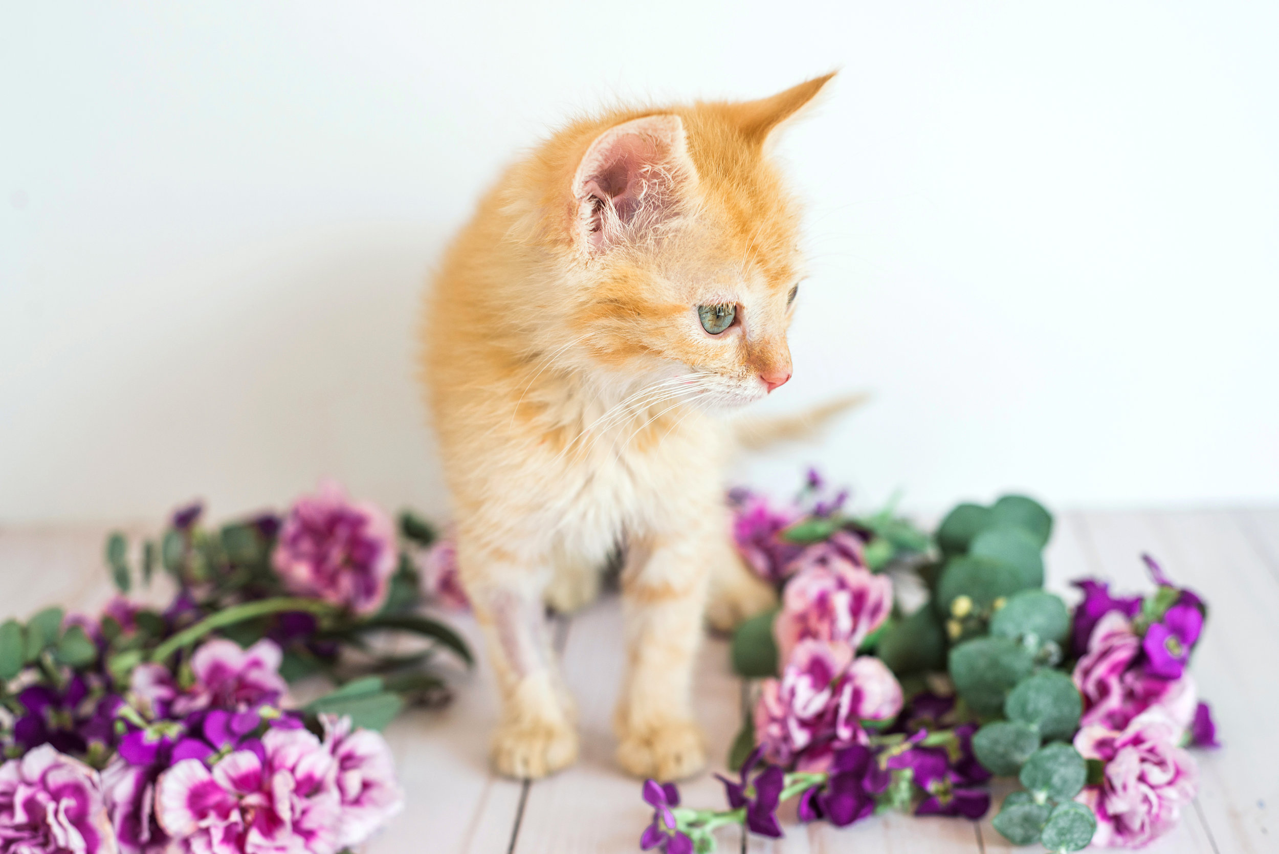 Adoptable kitten from the Asheville Humane Society. Pet photography by Sarah Hooker Photography