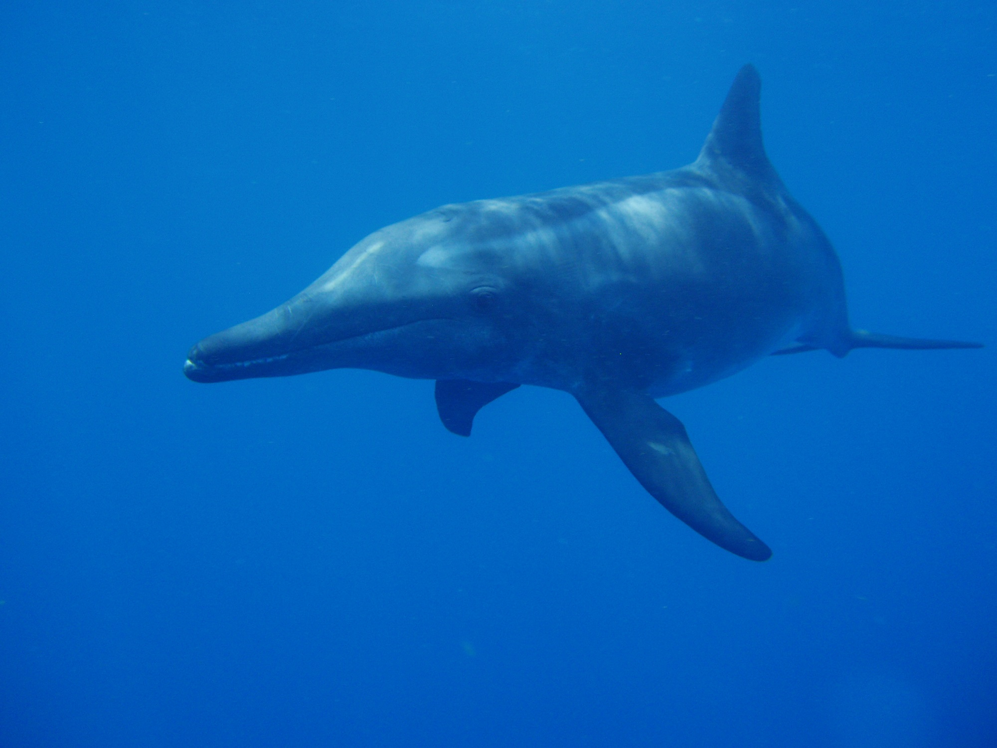 The rough-toothed dolphin (Steno bredanensis)