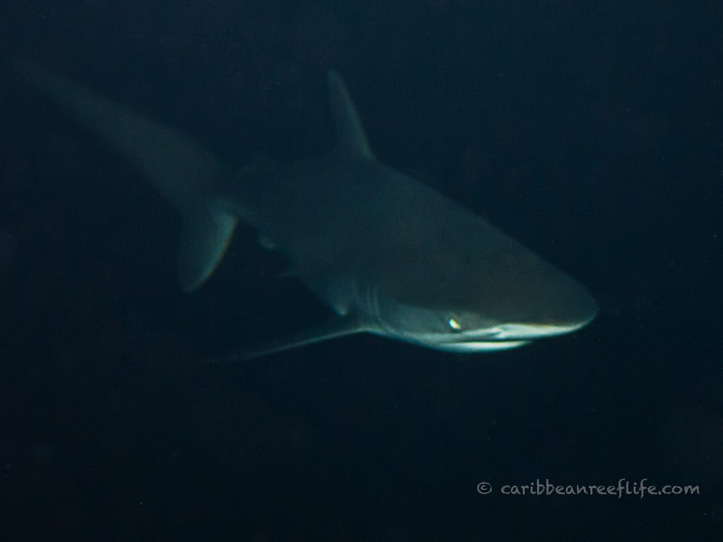Photo - Mickey Charteris - Silky shark