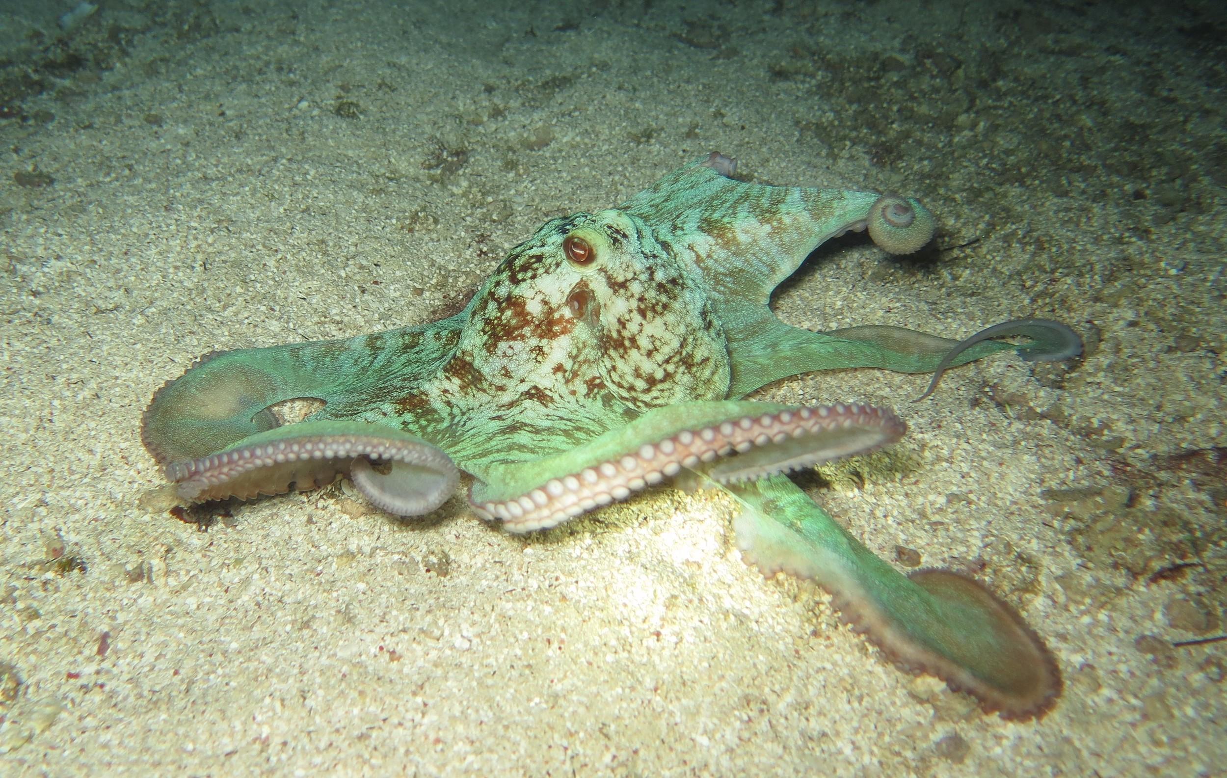 Photo - Courtney Blankenship - Caribbean Reef Octopus