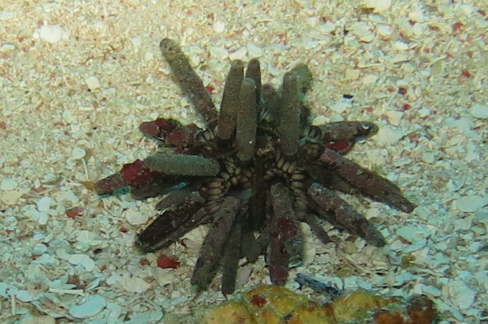 Slate Pencil Sea Urchin