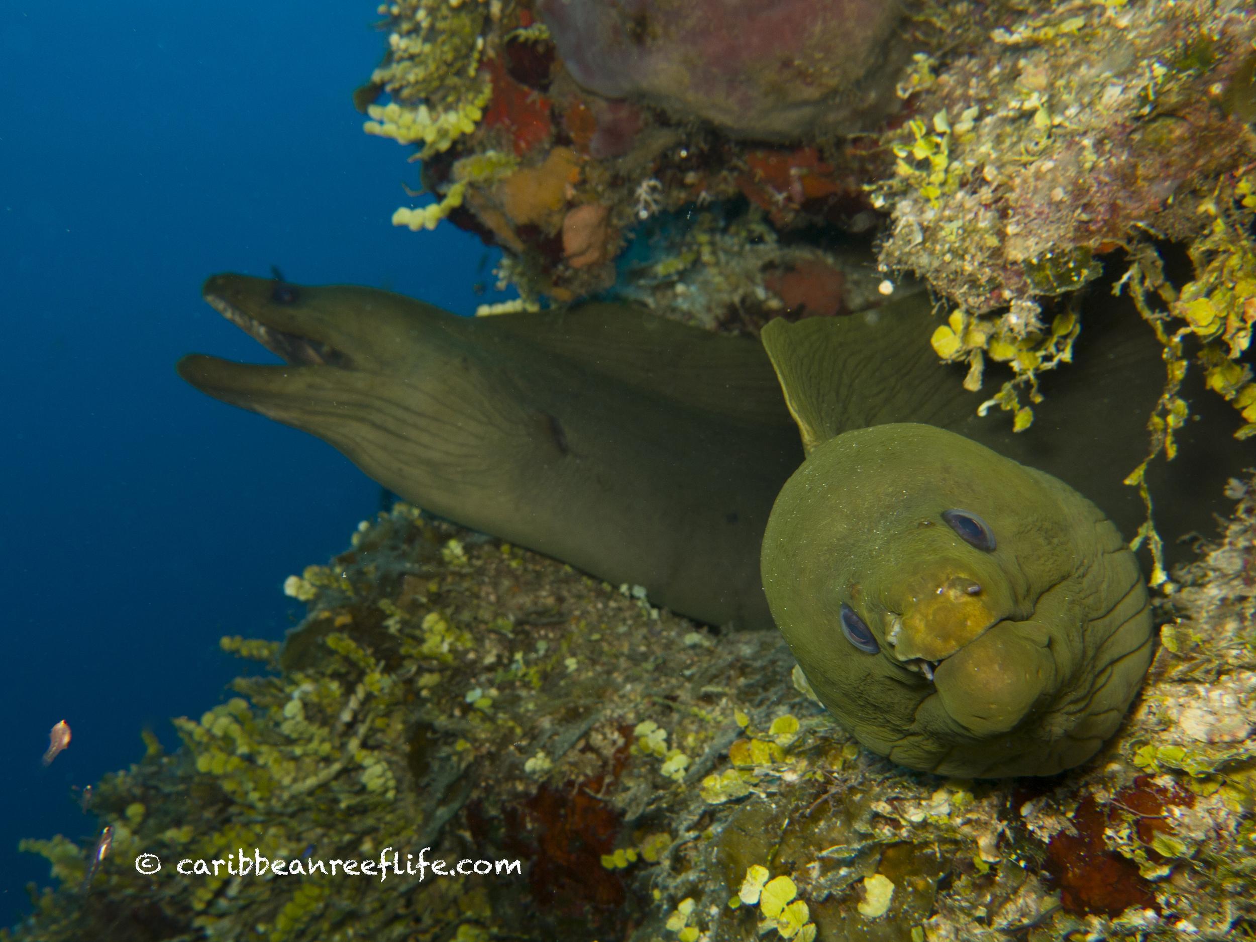 Green Moray Eels