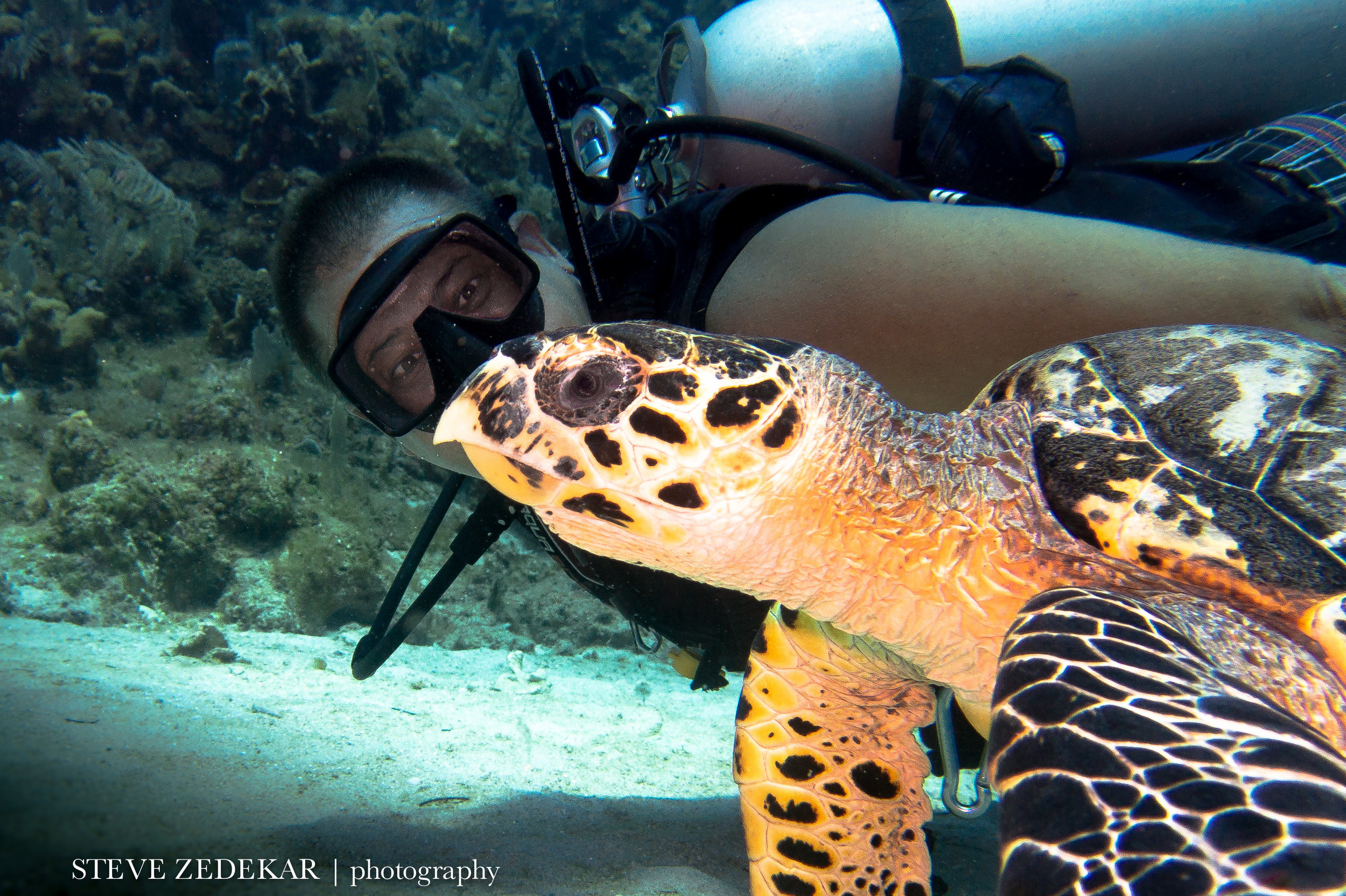 Hawksbill Turtle (foreground)