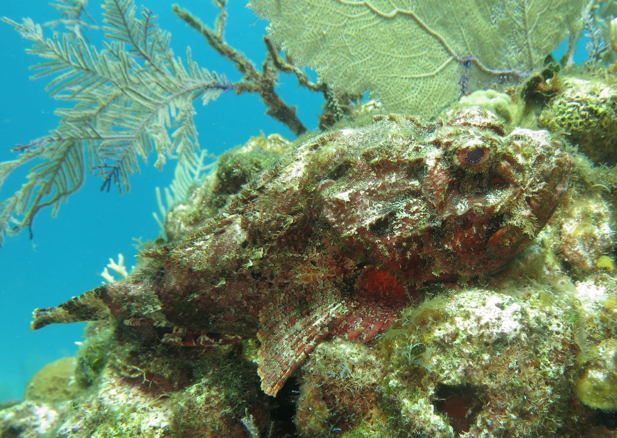 Scorpionfish