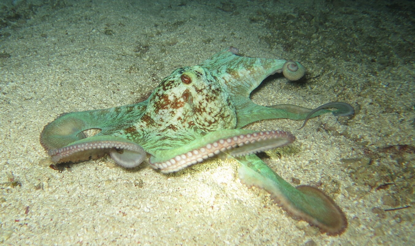 Common Octopus 2