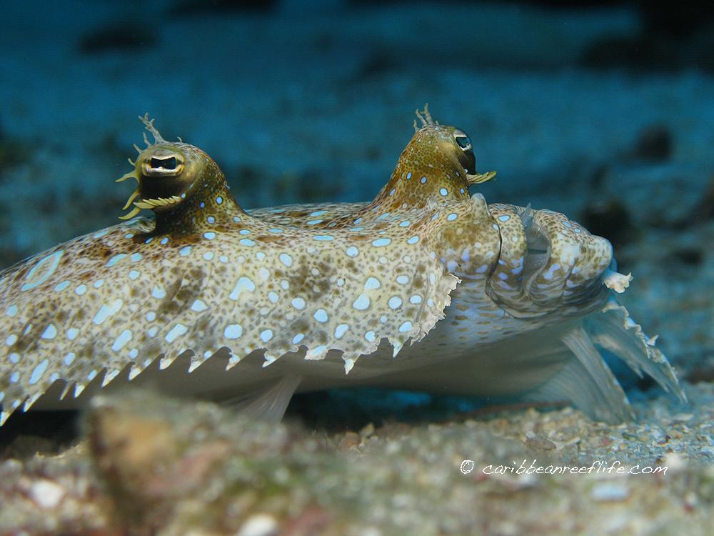 Photo - Mickey Charteris -  Caribbean Reef Life