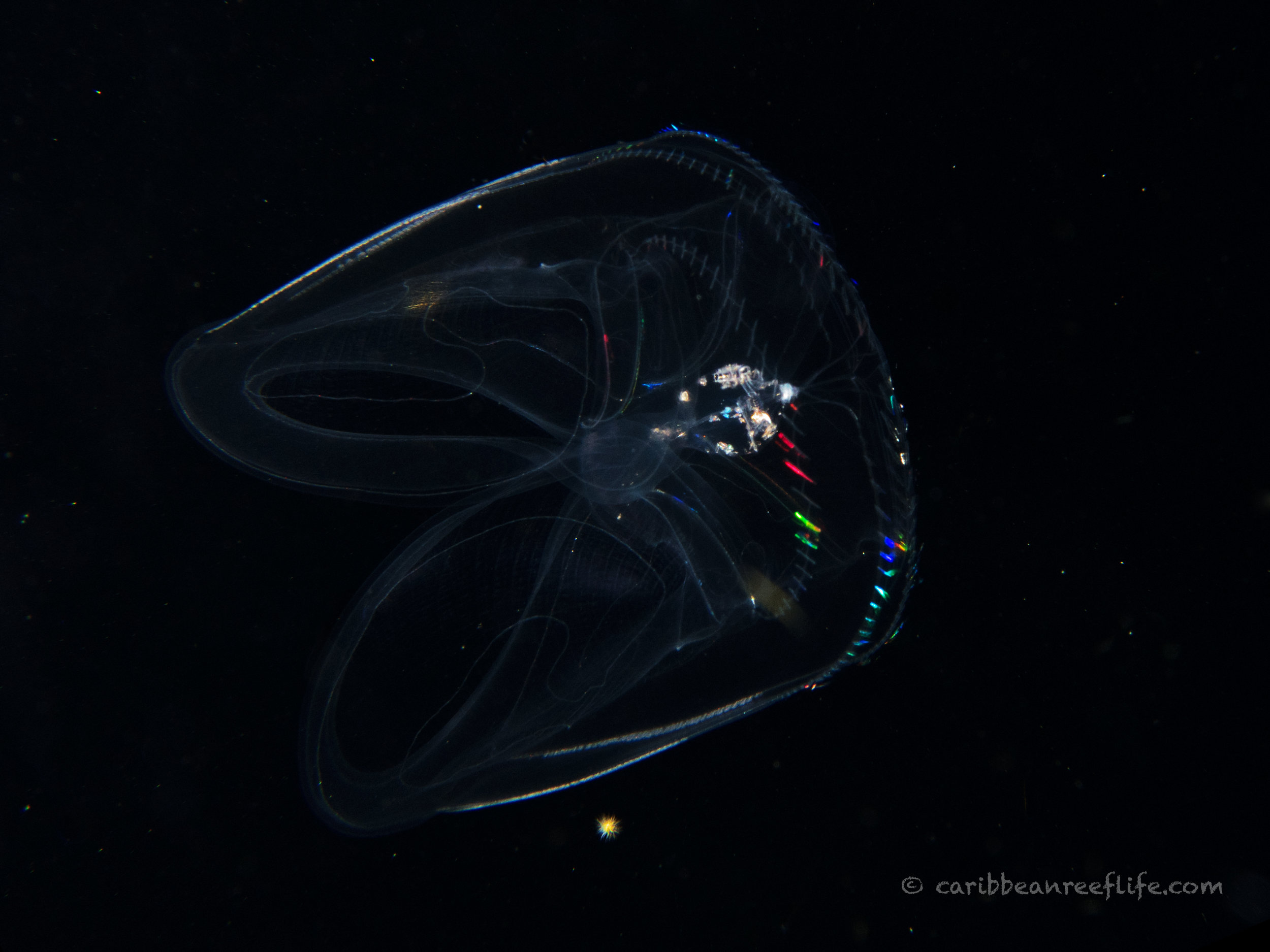 Northern Comb Jelly (Ocyropsis crystallina)
