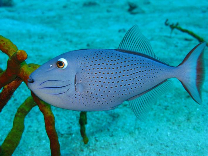 The ever so sexy Sargassum Trigger Fish.