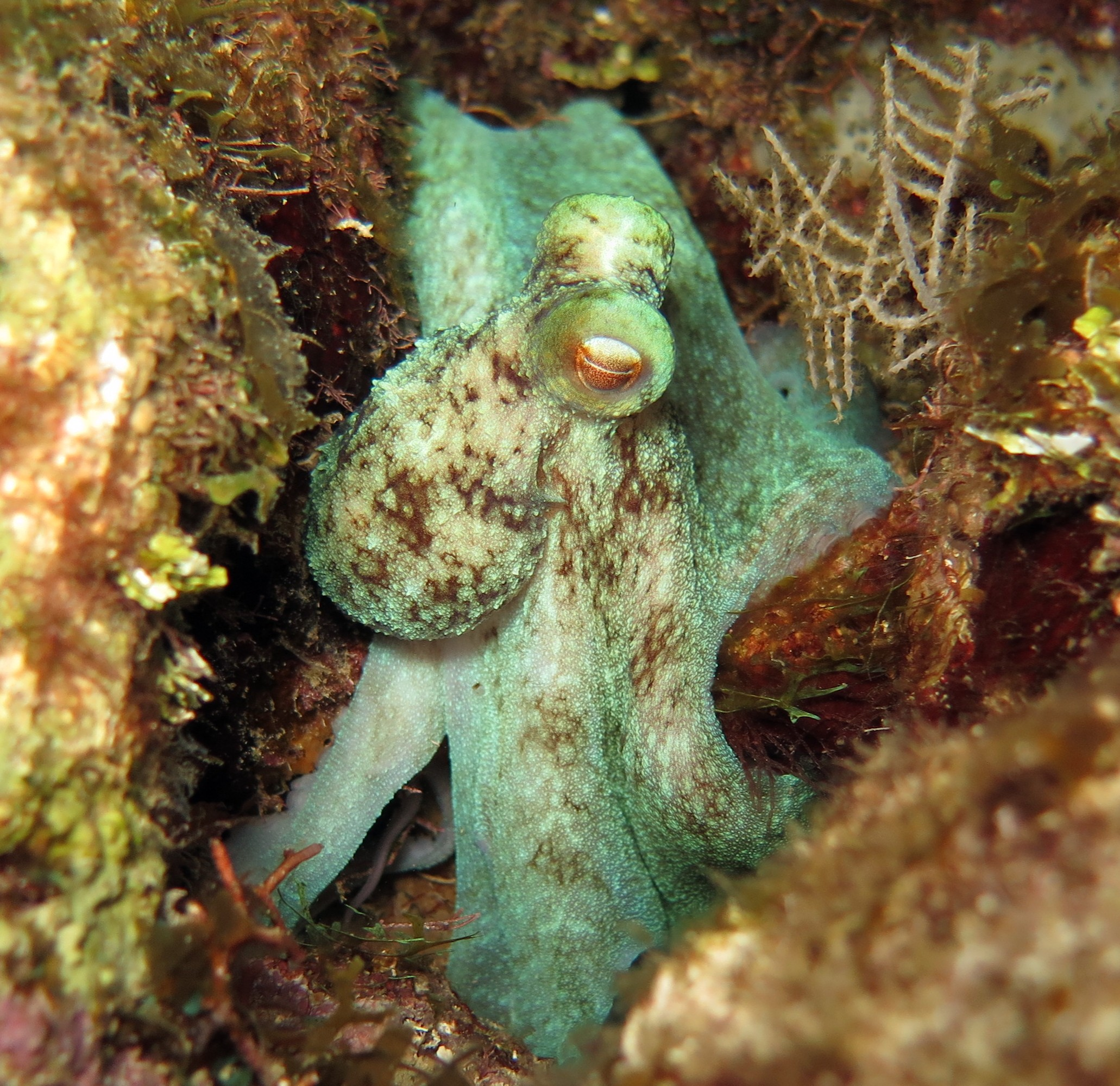 Caribbean Reef Octopus  Photo-  Mickey Charteris