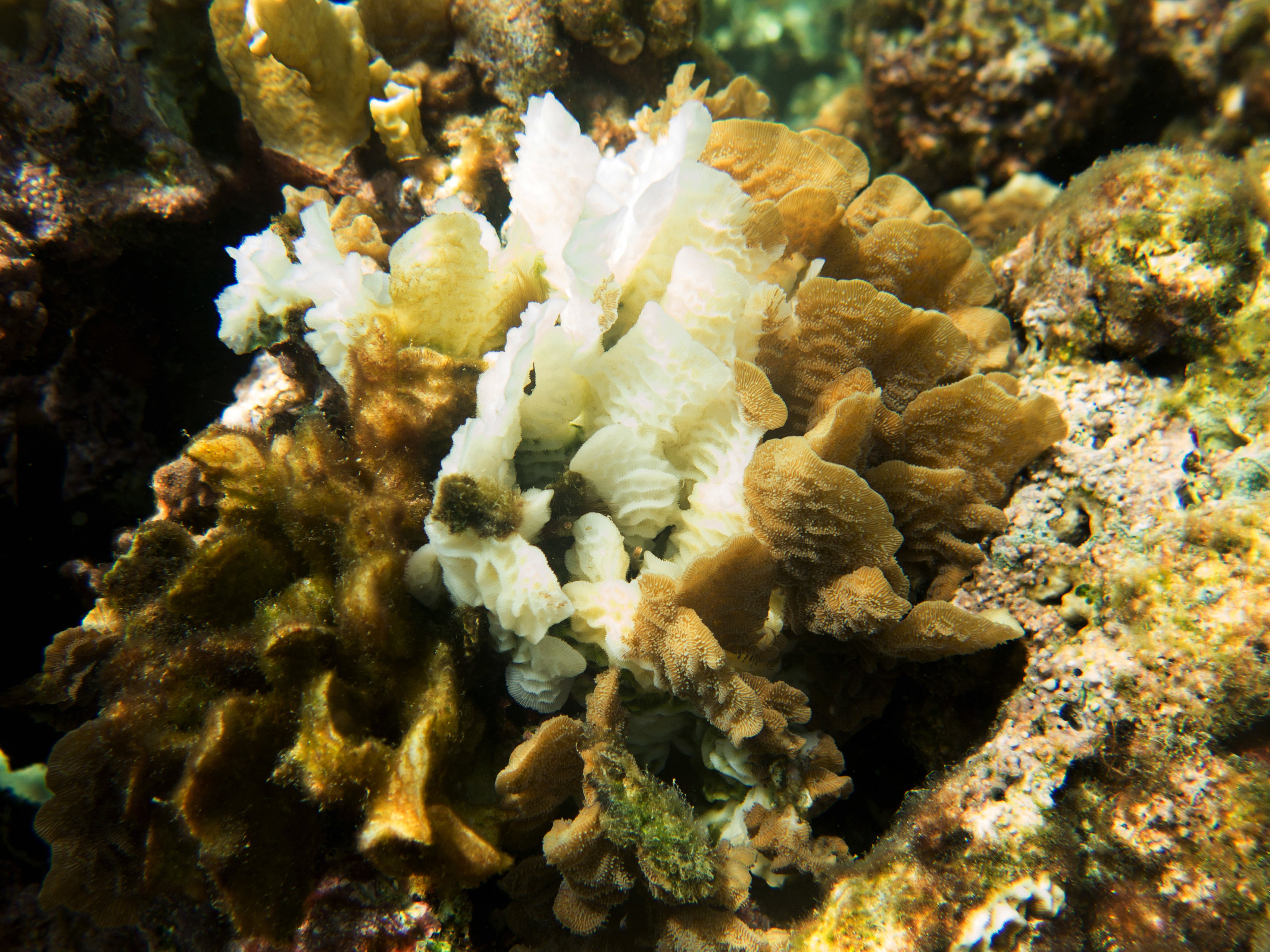 Agaricia bleaching with algae - September 2016  Photo –  Mickey Charteris
