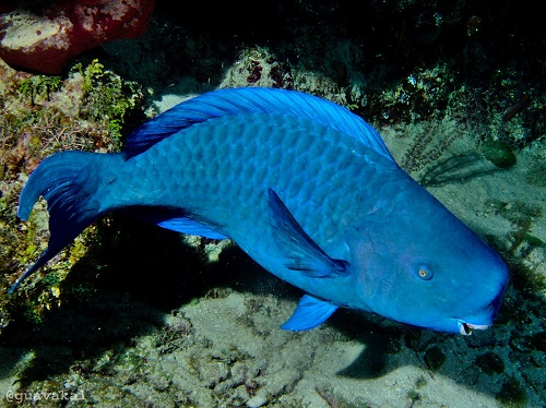 Male Blue Parrotfish