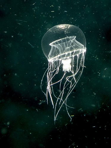 Jelly Hydromedusa