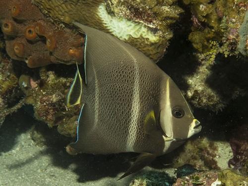 Gray Angelfish (intermediate)