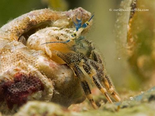 Unknown Hermit Crab