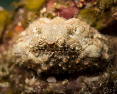 Rough Box Crab