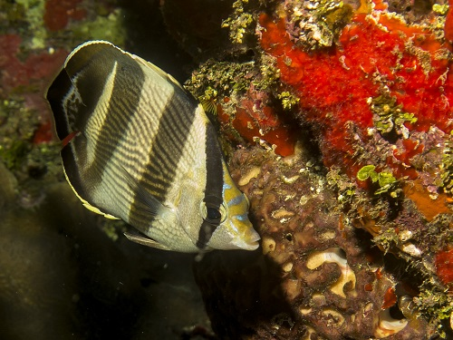 Banded Buterflyfish
