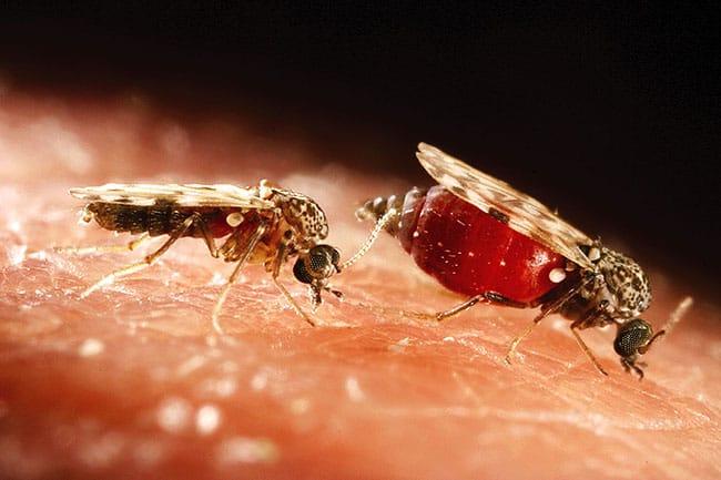 insecte-culicoide.jpg