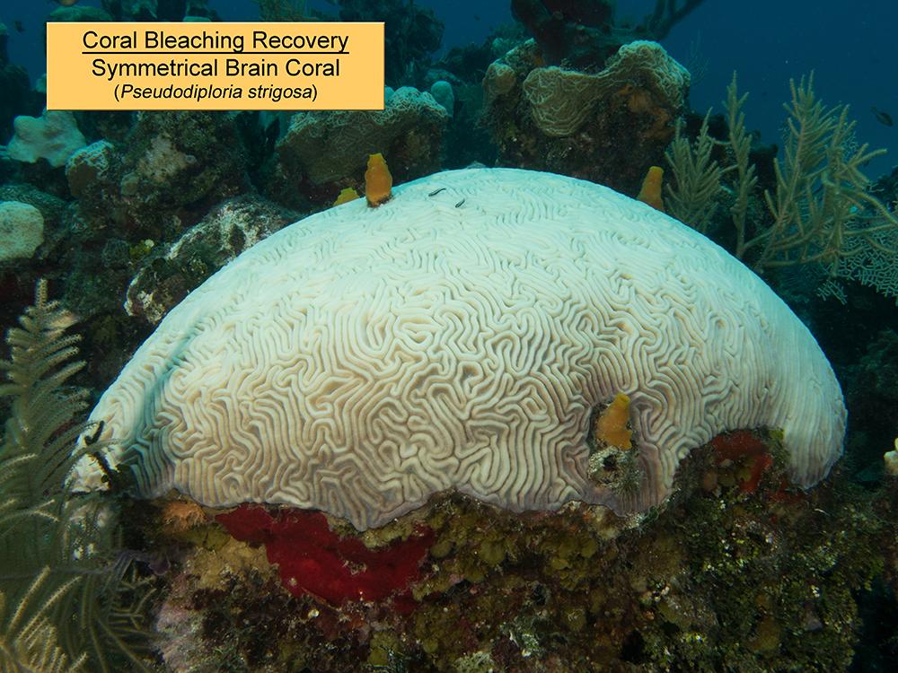 Symmetrical Brain Coral 1.jpg