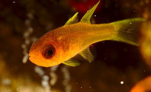 Sawcheek Cardinalfish