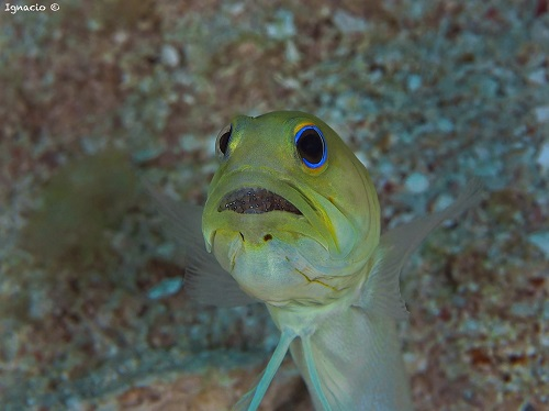 Yellowhead Jawfish with eggs in his mouth