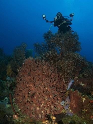Barrel Sponges at Texas