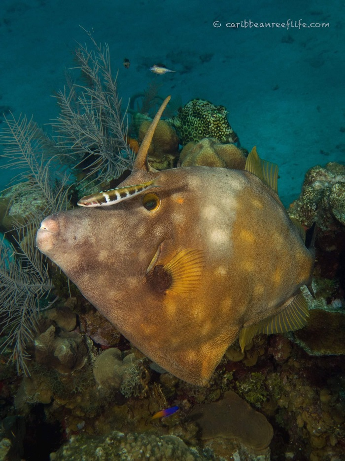 Whitespotted Filefish