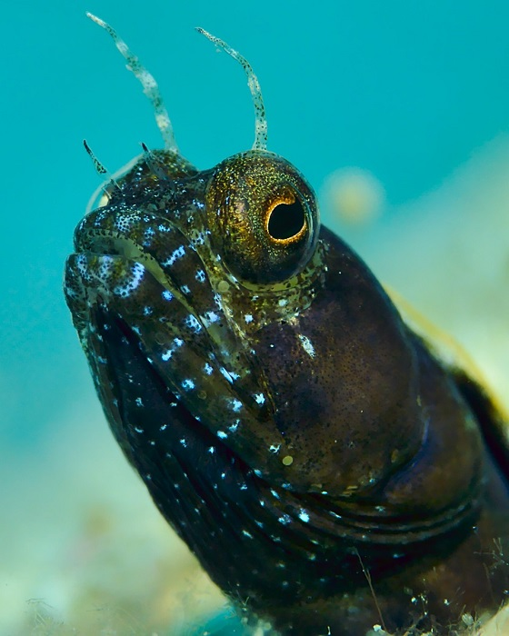 Male Sailfin Blenny