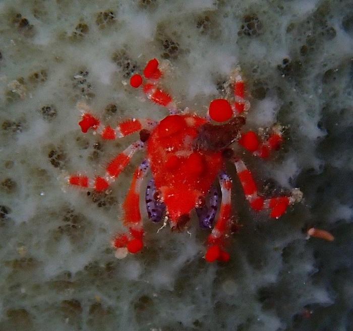 Cryptic Teardrop Crab
