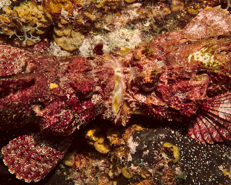 Spotted Scorpionfish Fight