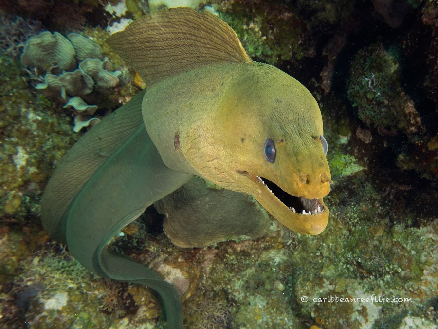 Curious Green Moray Eel