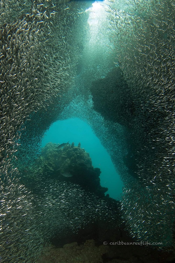 Silversides at Spooky Channel