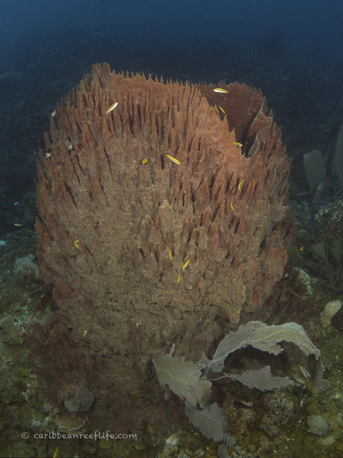 Giant barrel sponge at the Seamount